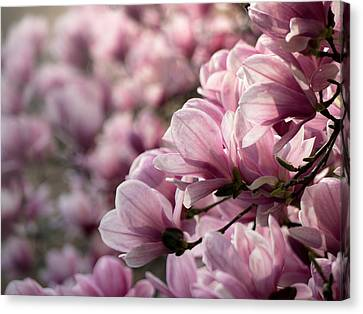 Magnolia Layers 2 Canvas Print by Rob Amend