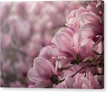 Magnolia Layers Canvas Print by Rob Amend