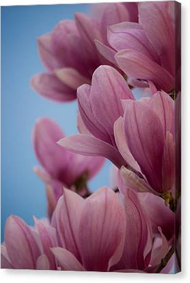 Magnolia On Blue Sky Canvas Print by Rob Amend