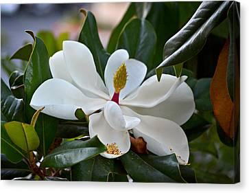Magnolia Canvas Print by Rima Biswas