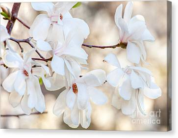 Magnolia Spring 1 Canvas Print by Susan Cole Kelly Impressions