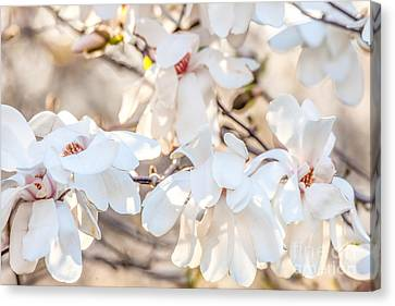 Magnolia Spring 2 Canvas Print by Susan Cole Kelly Impressions