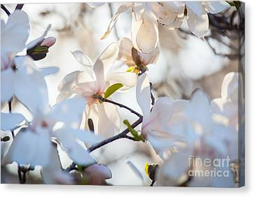 Magnolia Spring 3 Canvas Print by Susan Cole Kelly Impressions