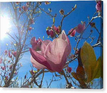 Magnolia Tree 1 Canvas Print