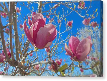 Magnolia Tree Blossoms 2 Canvas Print by John Norman Stewart