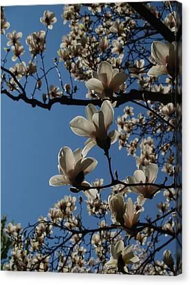 Magnolia Tree Canvas Print by Rita Haeussler