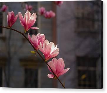 Magnolia's Descent Canvas Print by Rob Amend