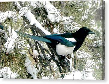 Magpie In The Snow Canvas Print by Marilyn Burton