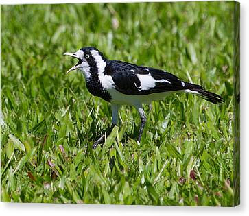 Magpie Lark Aka Peewee Canvas Print by Mr Bennett Kent