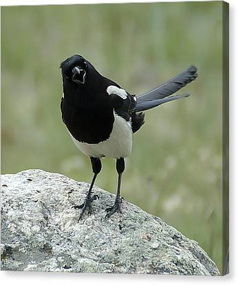 Magpie Canvas Print by Lee Kirchhevel