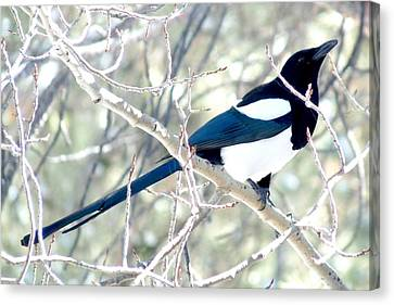 Magpie On Aspen Tree Canvas Print by Marilyn Burton