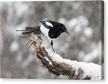 Magpies Canvas Print - Magpie Out On A Branch by Tim Grams