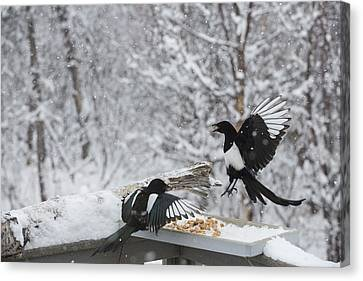 Magpies Dropping In For Lunch Canvas Print by Tim Grams