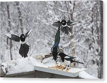 Magpies Flocking To The Feeder Canvas Print by Tim Grams