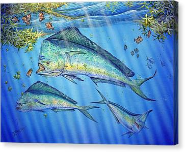 Mahi Mahi In Sargassum Canvas Print