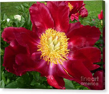 Sweet Touch Canvas Print - Mahogany Peony by Lingfai Leung