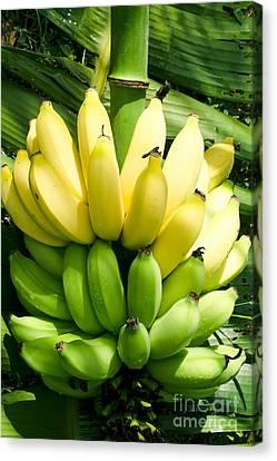 Maia Maole Banana Makawao Maui Hawaii Canvas Print by Sharon Mau