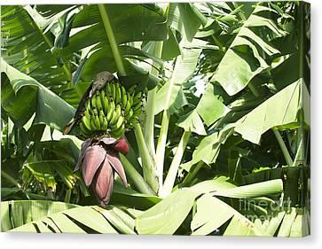 Mai'a - Organic Banana Canvas Print