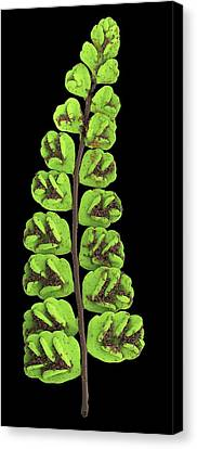 Maidenhair Spleenwort Canvas Print