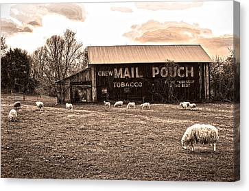 Mail Pouch Tobacco Barn And Sheep Canvas Print by Randall Branham