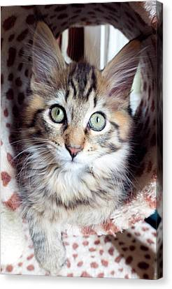 Maine Coon Kitten Canvas Print by Louise Murray