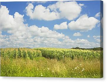Maine Corn Field In Summer Photo Print Canvas Print by Keith Webber Jr