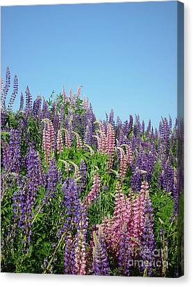 Canvas Print featuring the photograph Maine Lupine by Christopher Mace