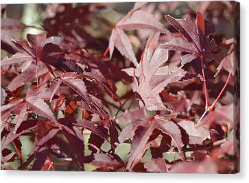 Maine Maple Leaves Canvas Print by Lena Hatch