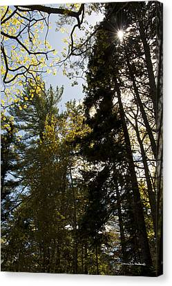 Maine Spring Wood Canvas Print by Daniel Hebard