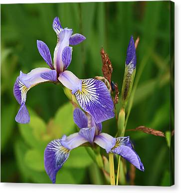 Maine Wild Iris Canvas Print