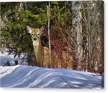 Maine Wildlife 2 Canvas Print by Gene Cyr