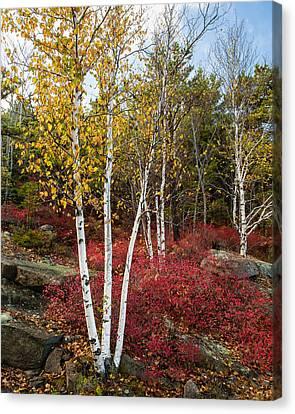 Maine's Acadia National Park White Birch Tree Photo Canvas Print by Bill Swindaman