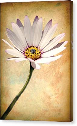 Maisy Daisy Canvas Print by David Davies