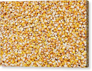 Maize Crop Canvas Print
