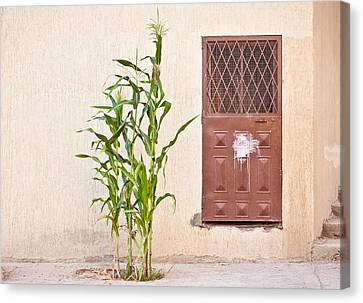 Maize Plant Canvas Print