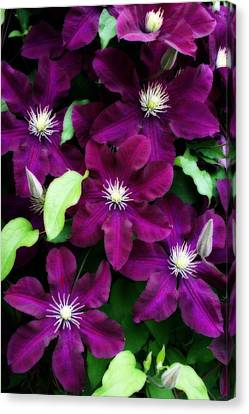 Majestic Amethyst Colored Clematis Canvas Print by Kay Novy