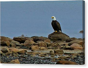 Majestic Bald Eagle Canvas Print by Rhonda Humphreys