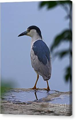 Majestic Black Capped Night Heron At Dusk Canvas Print by Inspired Nature Photography Fine Art Photography