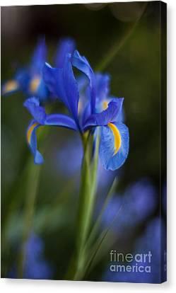 Majestic Blue Iris Canvas Print by Mike Reid
