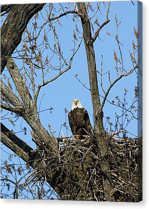 Majestic.  Canvas Print by Bruce  Morrell