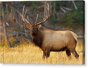 Majestic Bull Elk Canvas Print