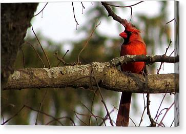 Majestic Cardinal Canvas Print