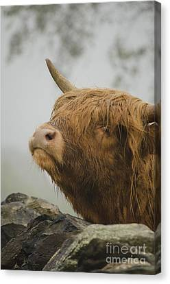 Majestic Highland Cow Canvas Print