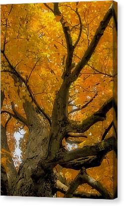 Canvas Print featuring the photograph Majestic Maple by Gary Hall