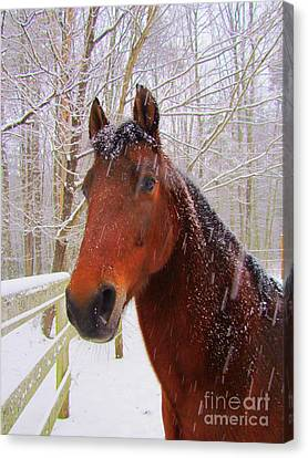 Majestic Morgan Horse Canvas Print