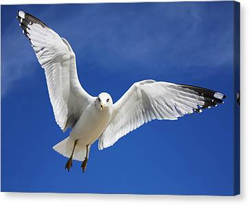 Majestic Seagull Canvas Print