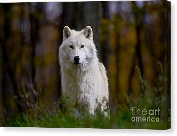Majesty Canvas Print by Wolves Only