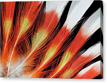 Major Mitchell Cockatoo Crown Feather Canvas Print by Darrell Gulin
