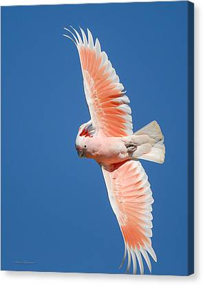 Canvas Print featuring the photograph Major Mitchell's Cockatoo In Flight by Avian Resources
