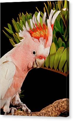 Major Mitchell's Cockatoo, Lophochroa Canvas Print by David Northcott